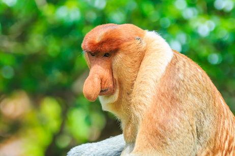 Näsapa på Borneo