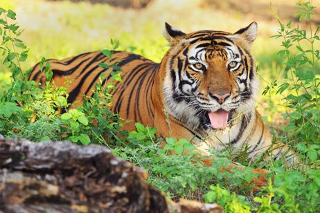 Safari i Indien